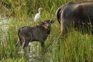 Junger Wasserbüffel mit Kuhreiher Wilpattu NP Sri Lanka von Lex van Doorn