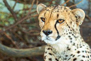 Cheetah van Marcel Henderik