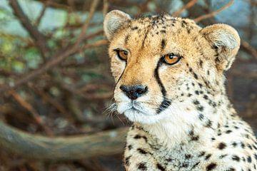 Gepard von Marcel Henderik