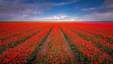 Tulip field von Patrick Rodink