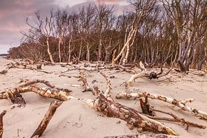 Küste mit Treibholz am Darßer Weststrand