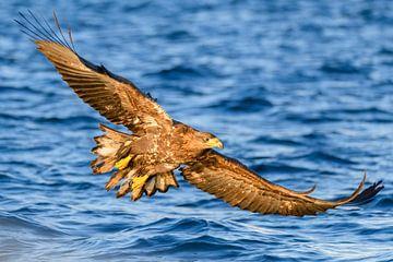 Seeadler die in einem Fjord jagen von Sjoerd van der Wal