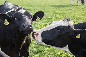 Dutch cows in the sun.