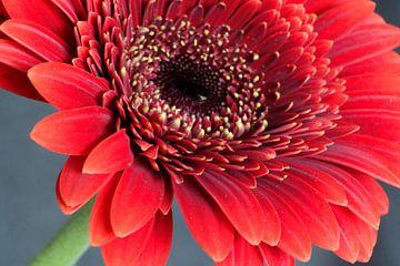 Gerbera rood van Foto Hal