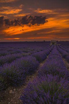 Vurige lavendel van Joris Pannemans - Loris Photography