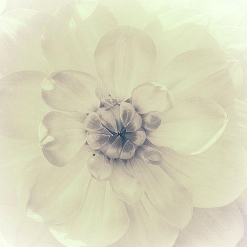 Hart van de dahlia, monochroom