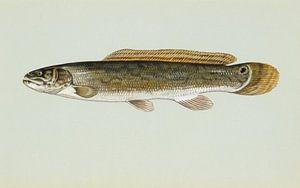 Bowfin fish von