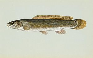 Moddersnoek (Bowfin fish)