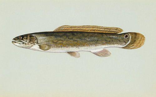 Moddersnoek (Bowfin fish) van