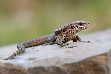 Viviparous Lizard * Zootoca vivipara * sur wunderbare Erde