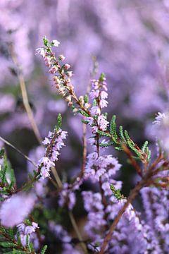 Heide in de bloei van Marijke van den Berg