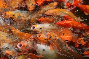 Koikarpers in Vietnam van