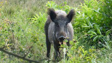 Hert, zwijn, wild zwijn van Gijs van Veldhuizen