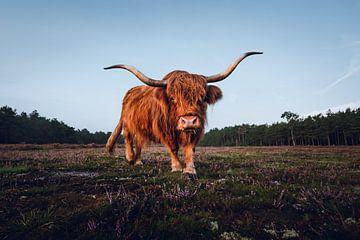 Schottischer Hochlandbewohner in der Heide von Marijn Alons