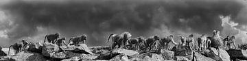 Mantelbaviaan : Safaripark Beekse Bergen van Loek Lobel