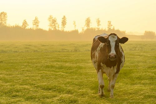 Koe in de wei tijdens een mistige zonsopgang in de IJsseldelta