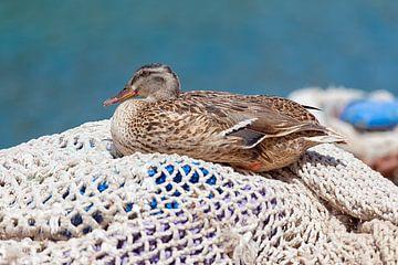 Ente auf Fischernetzen von Angelika Stern