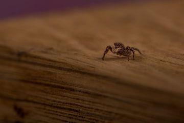 Springende Spinne auf einem Holzblock. von Erik de Rijk