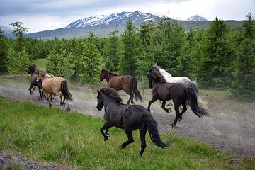 Islandpferde ausbilden von Elisa in Iceland