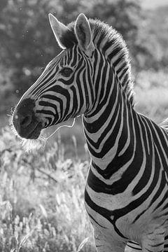 schwarz-weißes zebra, kruger park südafrika von Marijke Arends-Meiring