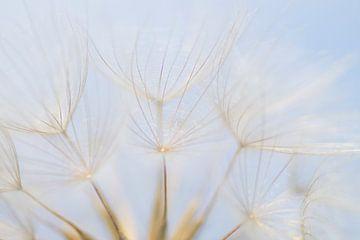 Airy 1 (Fluff des Morgensterns) von Birgitte Bergman