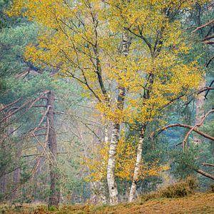 Berken in de herfst, Utrechtse Heuvelrug, Nederland van Sjaak den Breeje