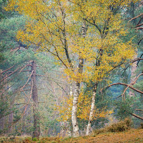 Berken in de herfst, Utrechtse Heuvelrug, Nederland