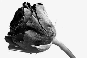 Zwarte roos op witte achtergrond van JM de Jong-Jansen