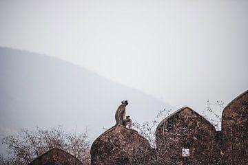 Grijze langoer aap op muur in Jaipur, India | Reis Fotografie van Lotte van Alderen