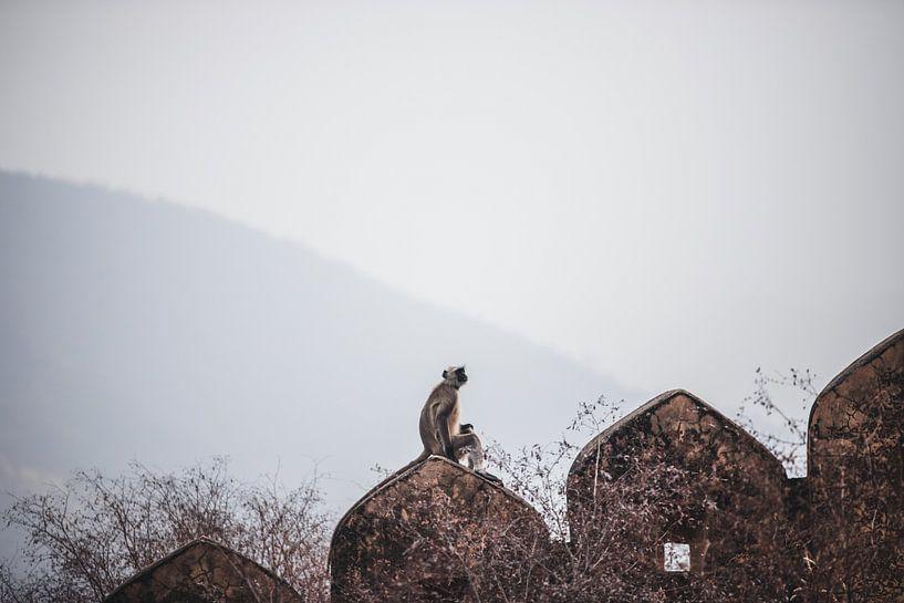 Grauer, langbeiniger Affe an der Wand in Jaipur, Indien | Reisefotografie von Lotte van Alderen