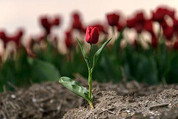 Rode tulp in het bollenveld van