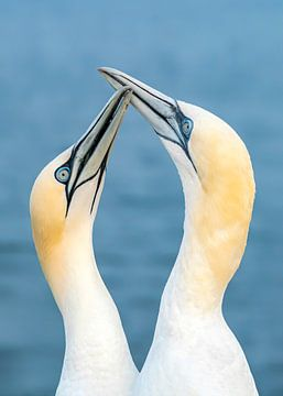 Liebe zwischen zwei Jan van Genten (Morus bassanus).  Liebesvögel. von Albert Beukhof