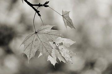 Zwart-wit beeld van bladeren van een esdoorn