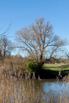 Eenzame boom Langs de Maas van Hans Blommestijn