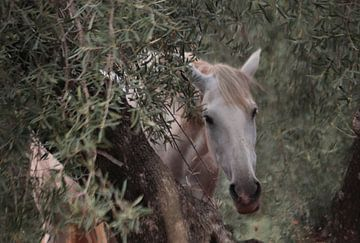 ontmoeting met een schimmel tussen de olijfbomen sur Jan Katuin