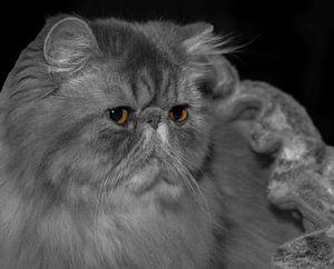 Persian kitten I