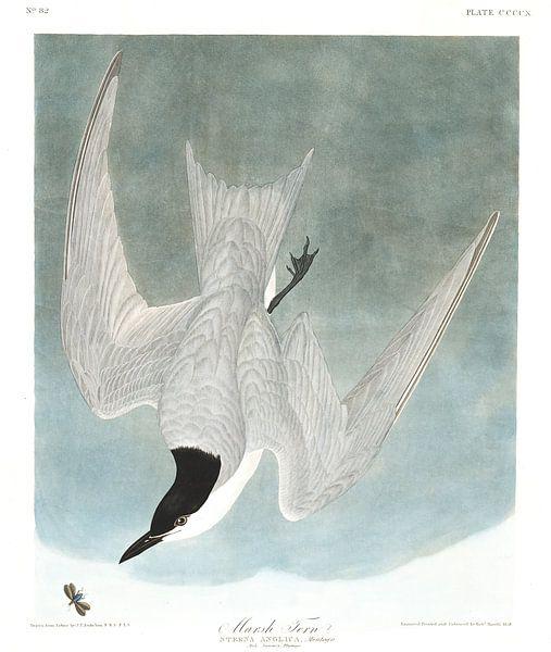 Moerassterns van Birds of America
