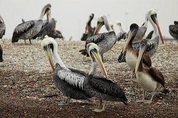 Pelikanen in Peru van Berg Photostore