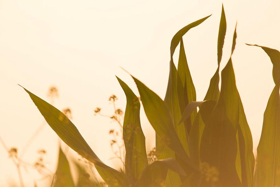 Mais bladeren bij ondergaande zomerzon