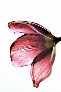 Tulp Pink Beauty van