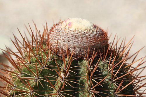 cactus cactussen melocactus