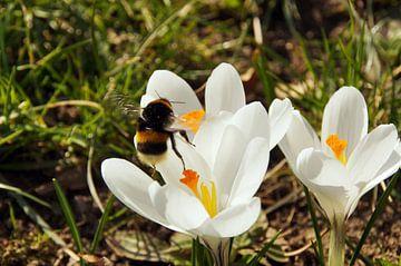 A bumblebee flying to a crocus flower van