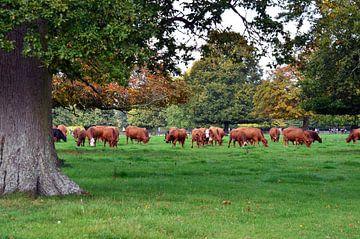 Herde grasender rothäutiger Kühe auf einer Wiese mit Eichen in den Cotswolds von Gert Bunt