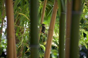 Mésange bleue entre bambou sur Roberto Zea Groenland-Vogels