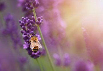 Hummel auf Lavendel von Anam Nàdar