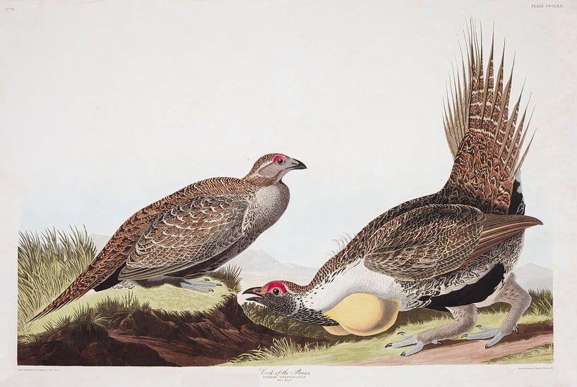Centrocercus van Birds of America