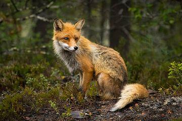 Een vos met streken van