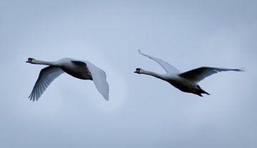 Schwanenpaar im Flug von RedRoseFotografie
