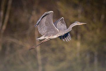 Reiger (vogel) tijdens de vlucht van Tobias Luxberg
