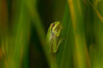 Baumfrosch im grünen Gras von Marianne Jonkman
